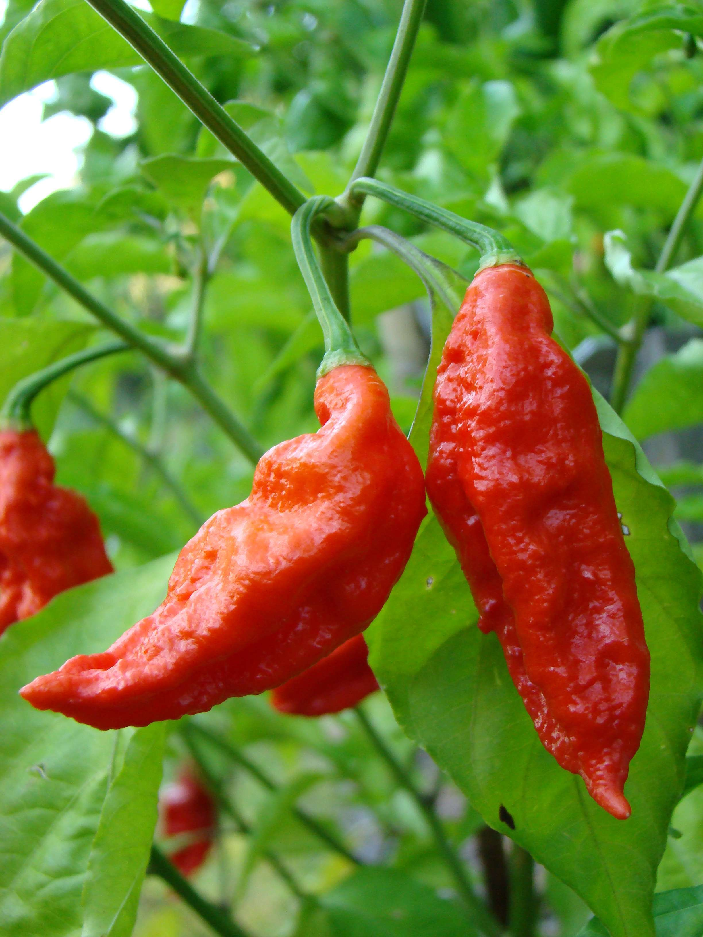 Bhut Jolokia Is No More The World's Hottest Chili