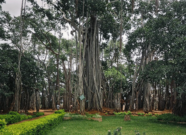 Big-Banyan-Tree.preview
