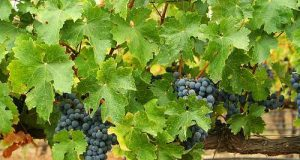Indian vineyards