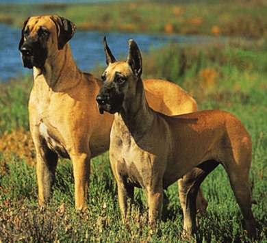 Non-Indian Dog Breeds to Suit Indian Climate
