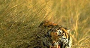 royal-bengal-tiger-of-sunderbans